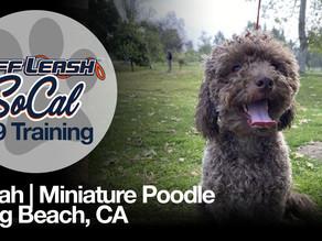 Jonah   Miniature Poodle   Long Beach, CA