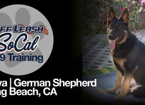 Nova | German Shepherd | Long Beach, CA