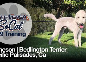 Jameson   Bedlington Terrier   Pacific Palisades, CA