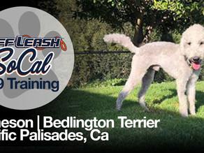 Jameson | Bedlington Terrier | Pacific Palisades, CA