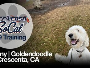 Benny | Goldendoodle | La Crescenta, CA