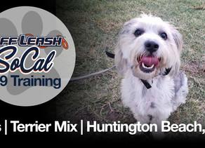 Otis   Terrier Mix   Huntington Beach, CA