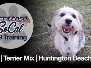 Otis | Terrier Mix | Huntington Beach, CA