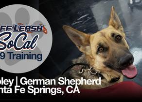 Ripley   German Shepherd   Santa Fe Springs, CA