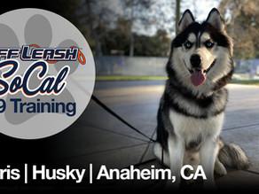 Osyris | Siberian Husky | Anaheim, CA