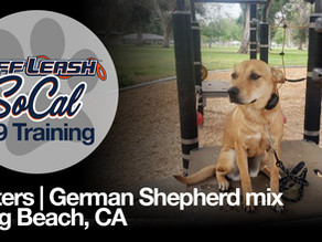 Butters   German Shepherd mix   Long Beach, CA