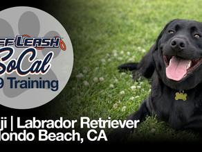 Benji   Labrador Retriever   Redondo Beach, CA