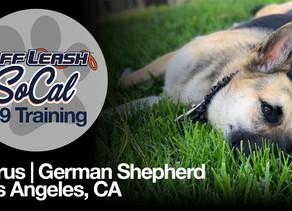 Cyrus   German Shepherd   Los Angeles, CA
