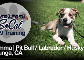 Gemma | Pit Bull Labrador Husky Mix | Tujunga, CA