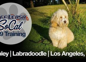 Copley |  Labradoodle | Los Angeles, CA