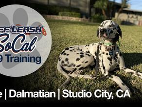 Blue | Dalmatian | Studio City, CA