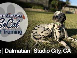 Blue | Dalmatian | Studio City, CA