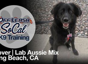 Clover| Lab/Aussie Mix | Long Beach, CA