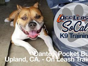 Dante | Pocket Bully | Upland, CA