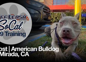 Ghost | American Bulldog | La Mirada, CA