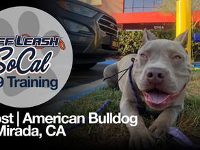 Ghost   American Bulldog   La Mirada, CA