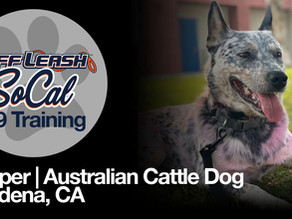 Pepper   Australian Cattle Dog   Altadena, CA