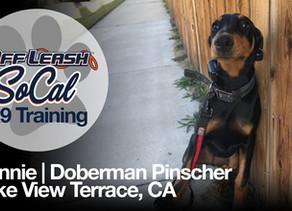 Bonnie | Doberman Pinscher | Lake View Terrace, CA