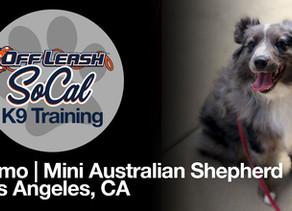 Sumo | Mini Australian Shepherd | Los Angeles, CA