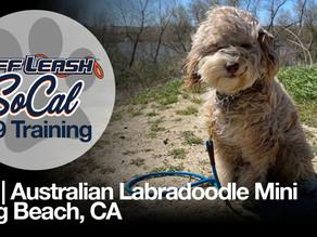 Tala   Australian Labradoodle Mini   Long Beach, CA