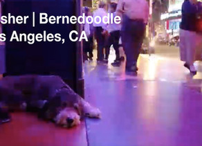 Dasher | Bernedoodle | Los Angeles, CA