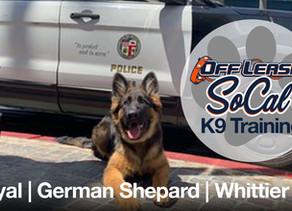 Royal | German Shepherd | Whittier, CA