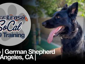 Polo | German Shepherd | Los Angeles, CA
