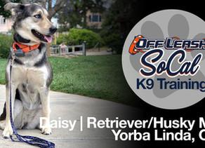 Daisy | Golden Retriever-Siberian Husky Mix | Yorba Linda, CA