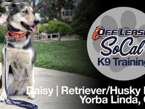 Daisy   Golden Retriever-Siberian Husky Mix   Yorba Linda, CA