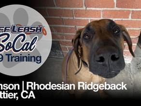 Samson | Rhodesian Ridgeback | Whittier, CA