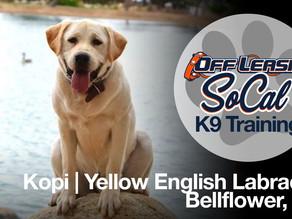 Kopi | Yellow English Labrador | Bellflower, CA