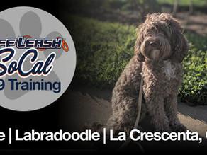 Ollie | Labradoodle | La Crescenta, CA