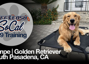 Tempe   Golden Retriever   South Pasadena, CA