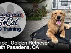 Tempe | Golden Retriever | South Pasadena, CA