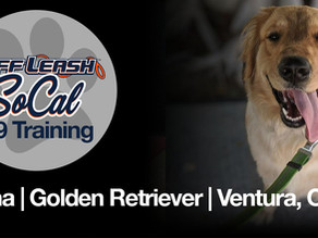 Luna | Golden Retriever| Ventura, CA
