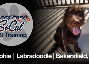 Ralphie | Labradoodle | Bakersfield, Ca.