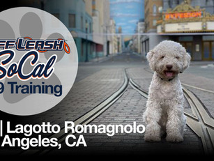 Gio | Lagotto Romagnolo | Los Angeles, CA