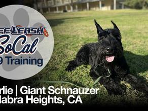 Charlie | Giant Schnauzer | La Habra Heights, CA