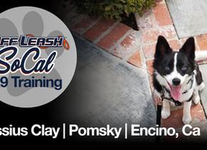 Cassius Clay   Pomsky   Encino, Ca