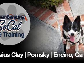 Cassius Clay | Pomsky | Encino, Ca