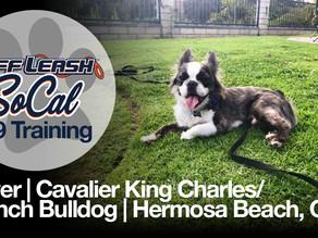 Oliver | Cavalier King Charles/ French Bulldog | Hermosa Beach, CA