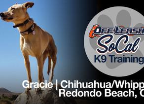 Gracie | Chihuahua/Whippet | Redondo Beach, CA