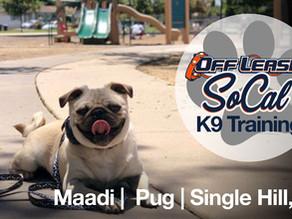 Maadi | Pug | Single Hill, CA