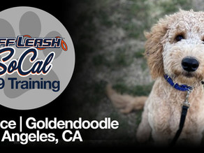 Prince | Goldendoodle | Los Angeles, CA