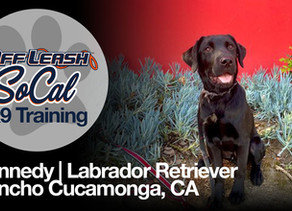 Kennedy | Labrador Retriever | Rancho Cucamonga, CA