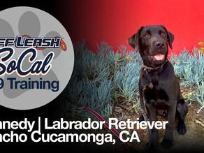Kennedy   Labrador Retriever   Rancho Cucamonga, CA