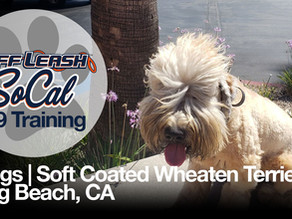 Briggs | Soft Coated Wheaten Terrier | Long Beach, CA