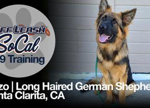 Enzo | Long Haired German Shepherd | Santa Clarita, Ca
