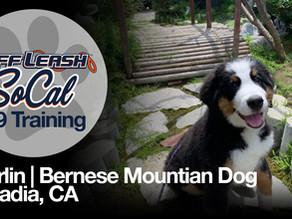 Merlin | Bernese Mountain Dog | Arcadia, CA