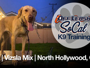 Alfie | Vizsla Mix | | North Hollywood, CA